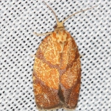 3621 Four-lined Leafroller Moth yard 6-5-13