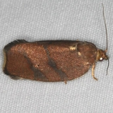 3622 Hickory Leafroller Moth Turkey Lake Shawnee St Pk 6-12-15