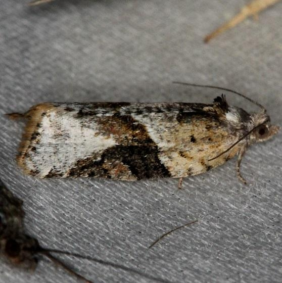 3625 Gray-banded Leafroller Moth Thunder Lake UP Mich 6-23-13