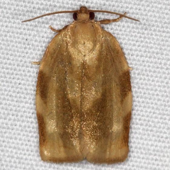 3632 Broken Banded Leafroller Moth yard 5-15-15
