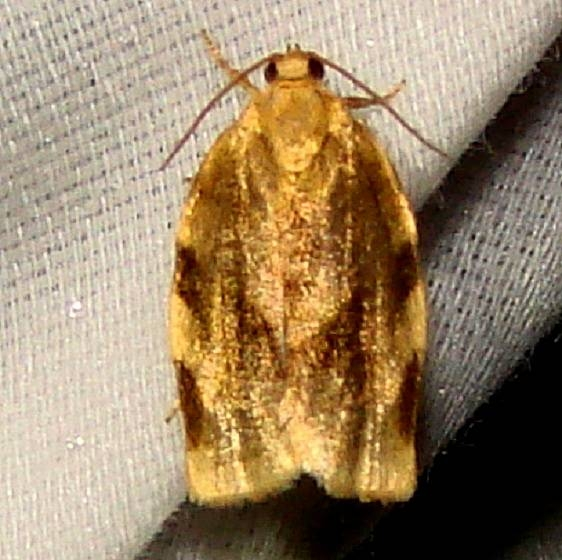 3632 Broken-banded Leafroller Moth Jenny Wiley St Pk Ky 4-25-12