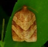 3633 Parellel-banded Leafroller Moth Webster Rd Oh 8-3-12