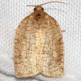 3634 Zapulata Moth yard 9-2-12