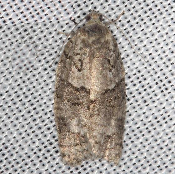 3637 1Large Aspen Tortrix Moth Thunder Lake Mich UP 6-24-13