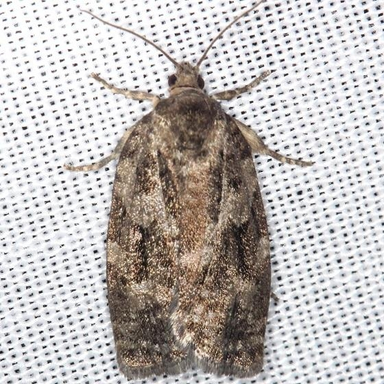 3638 Spruce Budworm Moth Thunder Lake UP Mich 6-23-13