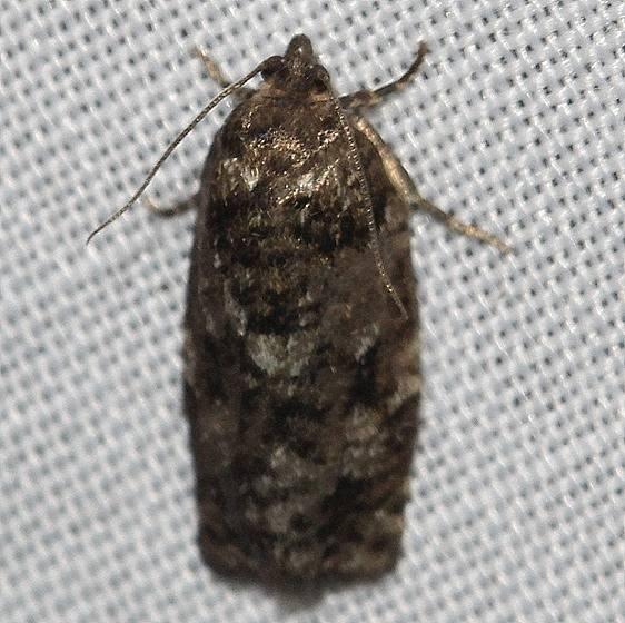 3643 Jackpine Budworm Moth Thunder Lake UP Mich 6-23-12