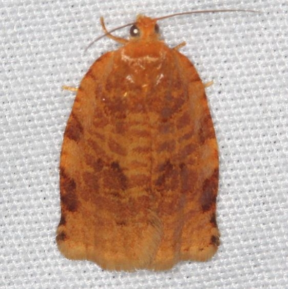 3661 Ugly-nest Caterpillar moth Lake of the Woods Ash Rapids Lodge 7-16-17 (53)_opt