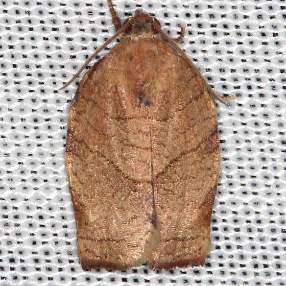 3663.1 Large Fruit-tree Tortrix Moth yard 8-1-13
