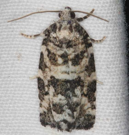 3667 Spring Spruce Needle Moth Lake of the Woods Ontario 7-19-16 (44a)_opt