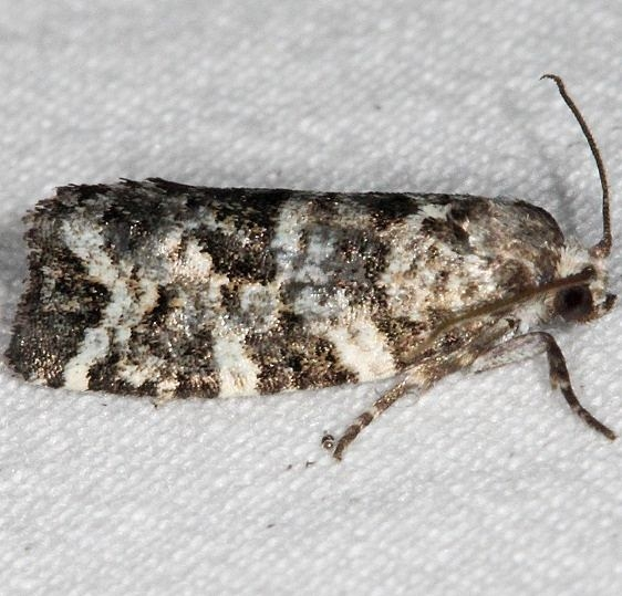 3667 Spring Spruce Needle Moth Lake of the Woods Ontario 7-20-16 (155a)_opt