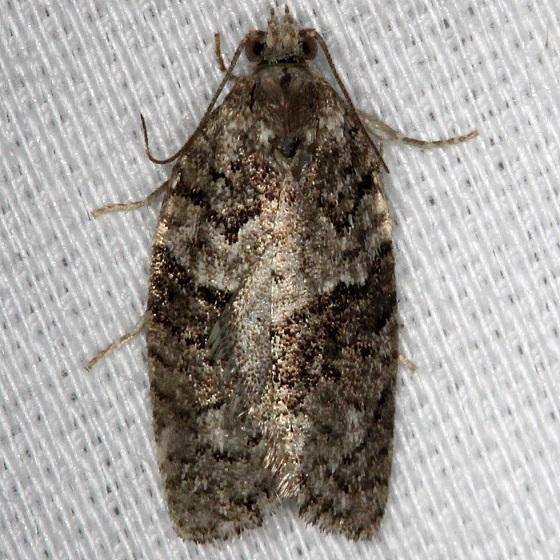 3672 Gray Leafroller Moth Thunder Lake UP Mich 6-21-13