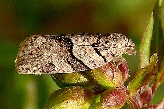3672 Gray Leafroller Moth Zaleski State Forest Oh 4-9-12