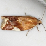 3682 White-triangle Clepsis Moth Thunder Lake Mich UP 6-22-13