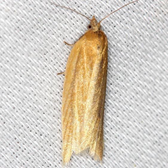 3684 Clemen's Clepsis Moth yard 5-30-13