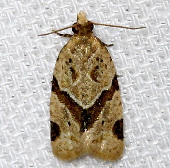3688 Garden Tortrix Moth Kissimmee Prairie St Pk 3-15-13