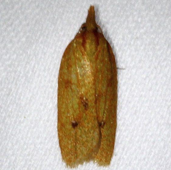 3695 Spraganothis Fruitworm Moth Kissimmee Prairie St Pk 3-12-13