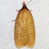 3704 Distinct Sparganothis Moth Schivley Fen Logan Co Oh 6-12-12