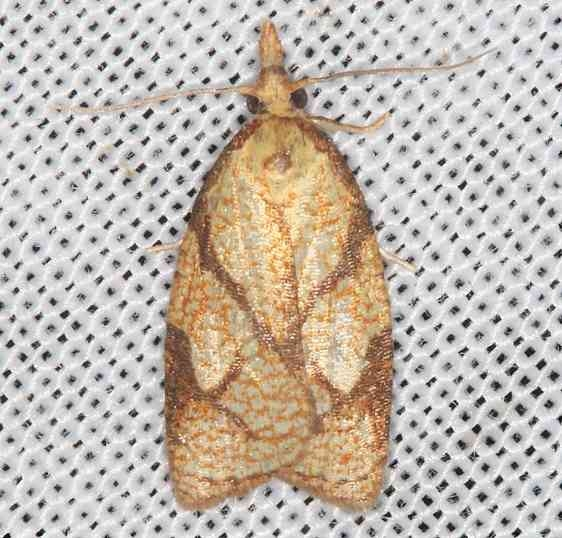 3720 Reticulated Fruitworm Moth Lake of the Woods Ontario 7-25-16 (2a)_opt