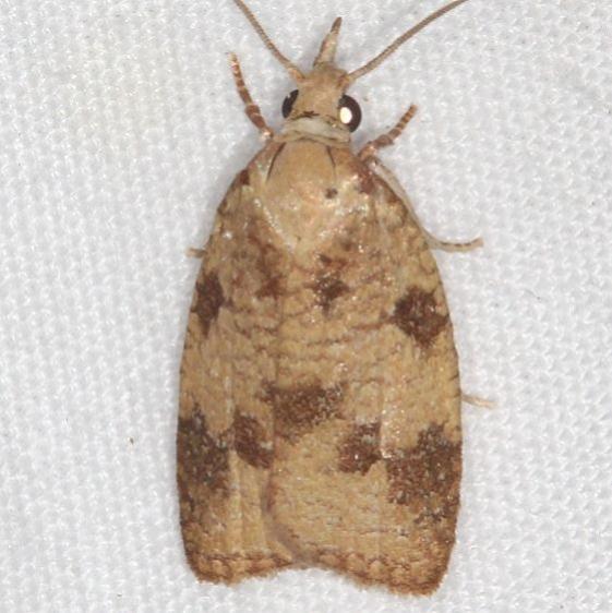 3724 Cenopis saracana Mothapalooza Shawnee St Forest Oh 7-7-17 (32)_opt