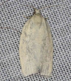 3725 Maple-Basswood Leafroller Moth Lake of the Woods Ontario 7-21-16 (77a)_opt