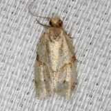 3725 Maple-basswood Leafroller Moth Village Creek St Pk, Texas 11-6-13_opt