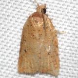 3731 Lentiginos Moth Hidden Lake Everglades Natl Pk 3-9-13