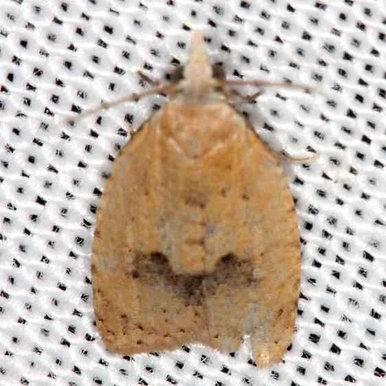 3731 Lentiginos Moth Village Creek St Pk Texas 11-6-13