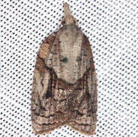 3740 Apple Tufted Moth yard 5-30-13