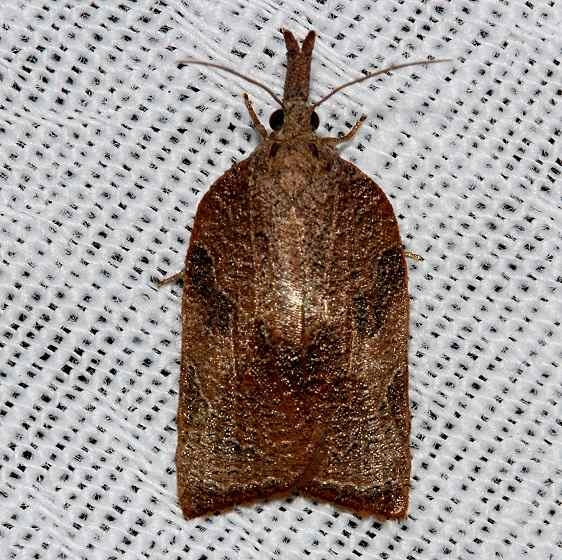 3745 Omnivorous Platynota Moth Kissimmee Prairie St Pk 3-16-13