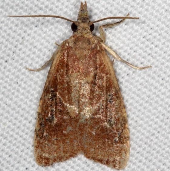 3745.97 BG Unidentified Platynota Moth Oscar Scherer St Pk Fl 2-27-17_opt