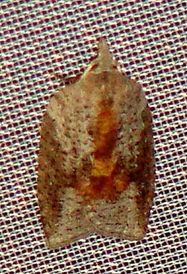 3748 White-lined Leafroller Moth Walden II Lake Co Oh 6-12-09