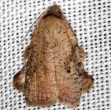 3750.3 Amorbia concavana Lucky Hammock Everglades 2-23-14