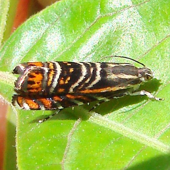 3751 Psychedelic Jones Moth Clearcreek Metro Pk 6-4-12