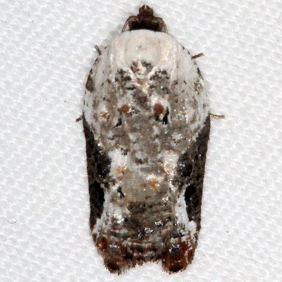 3510 Snowy-shouldered Acleris Moth yarda 5-8-16_opt