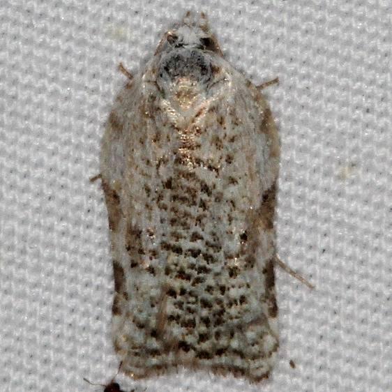 3526 Speckled Acleris Moth yard 5-9-15