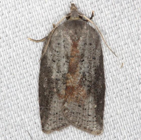 3527 Schaller's Acleris Moth Thunder Lake Mich UP 6-24-13