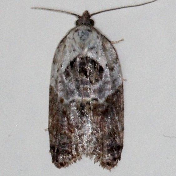 3530 Garden Rose Tortrix Moth Moth Cherry Tree Inn Victoria BC 8-15-14