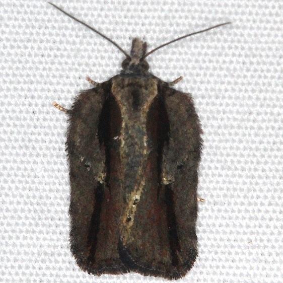 3530 Garden Rose Tortrix Moth yard 10-9-15