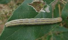 Unknown Caterpillar BG Brown Canyon Trail Sierra Vista Az 9-7-12_opt