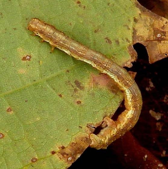 Unknown Caterpillar Twin Falls Munising Mich 10-1-14 (5)_opt