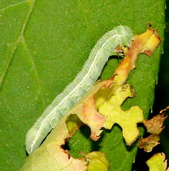 Unknown Caterpillar on Cherry Pictured Rocks UP Mich 6-25-15
