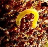 Unknown Caterpillar on Gray-headed Coneflower Huffman Prairie Dayton 7-21-14_opt