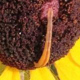 Unknown Caterpillar Kankakee Sands Ind 7-9-16