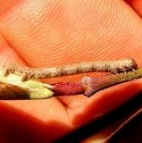 Unknown Caterpillar Medina Co Ohio 4-6-12_opt